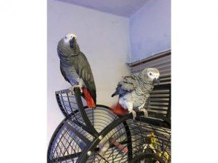 Afrikaanse grijze papegaaien